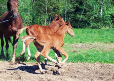 Little  chestnut foals of sportive breed Stock Images