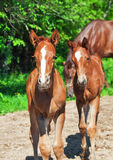 Little  chestnut foals of sportive breed Royalty Free Stock Image
