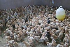 Little chichken Stock Photos