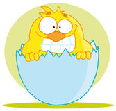 Little chick Stock Images
