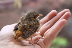 Little chick Royalty Free Stock Images