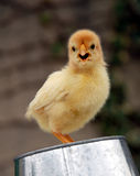 Little chick. Baby yellow chick in a farm: cute beautiful bird Stock Photos