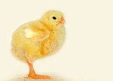 Little chick Royalty Free Stock Photos