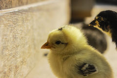 Little chick Stock Image