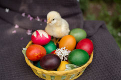Little chick in basket with Easter eggs Stock Photography