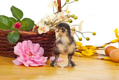 Little chick  with basket with flowers Stock Photography