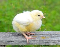 Little chick Royalty Free Stock Photography