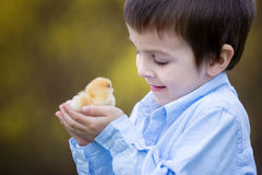 Little chick in child hands Stock Photo
