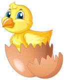 Little chick comes of of egg Royalty Free Stock Image