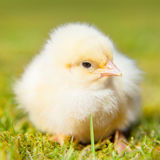 Little chick Royalty Free Stock Photo
