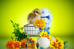 Little chick with daisies Royalty Free Stock Images