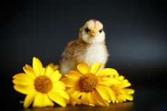 Little chick with daisies Stock Images