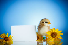 Little chick with daisies Royalty Free Stock Photo