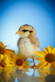 Little chick with daisies Stock Image