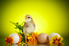 Little chick with daisies Royalty Free Stock Photography