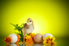 Little chick with daisies Stock Photography