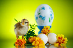 Little chick with daisies Royalty Free Stock Image