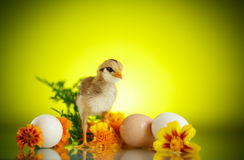 Little chick with daisies. On a green background Royalty Free Stock Images