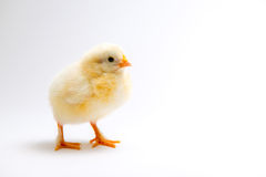 Little chick in front of bright background Royalty Free Stock Image
