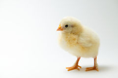 Little chick in front of bright background Royalty Free Stock Photo