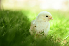 Little chick in the grass Stock Photos
