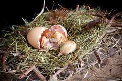 Little chick hatching. Last effort of a little yellow chick hatching stock images