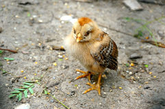 The little chick Royalty Free Stock Photography