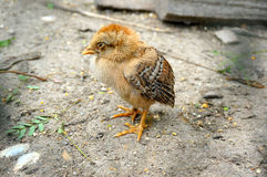 The little chick Royalty Free Stock Photos
