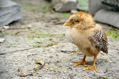 The little chick Royalty Free Stock Images