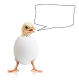 Little chick Stock Photography