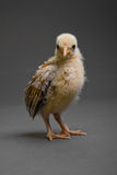 Little chick Royalty Free Stock Image