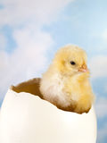 Little chick in ostrich egg Royalty Free Stock Photography