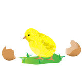 Little chick over white background Stock Photo