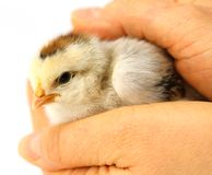 Little chick protected by hands. Little chick resting in the safety of two protective hands Royalty Free Stock Photography