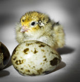 Little chick quail Stock Images