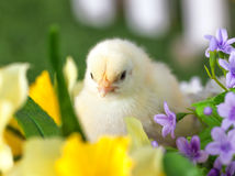 The little chick is sitting in flowers. The little yellow chick is sitting in flowers stock photos