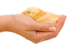 Little chick sleeping Royalty Free Stock Photos