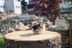 Little chick stock photo