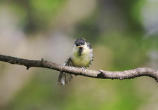 Little chick tit sitting on a branch spreading its feather Stock Image