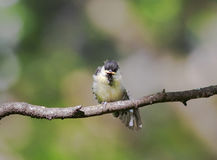 Little chick tit sitting on a branch spreading its feathers and Stock Image