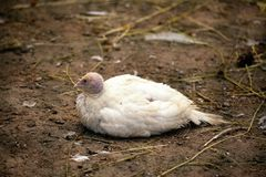 Little chick turkey lies on the earth Stock Photography