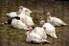 Little chick turkeys lies on the earth Stock Photo