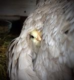 Little chick under wings of hen Stock Photography