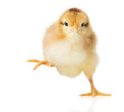 Little chick on white background Stock Photos