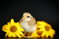 Free Little Chick With Daisies Stock Image - 83564621