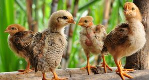 Little chicken Royalty Free Stock Photos