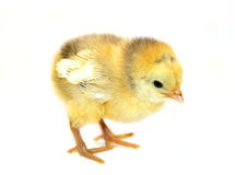 Little chicken. Sweet little chicken isolated in white Royalty Free Stock Image
