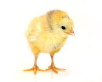 Little chicken. Sweet little chicken isolated in white Stock Images
