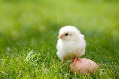 Little chicken Royalty Free Stock Photography