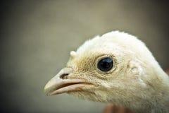 Little chicken Stock Photo